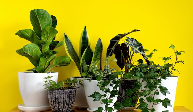 Ready for Cleaner Indoor Air This Fall? Check Out These 5 Must-Have Houseplants